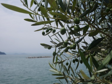 Olive Trees in Shodoshima
