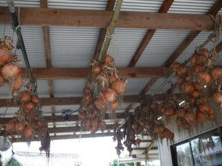 Big bulbs of onion spotted at one of the homes in Megijima