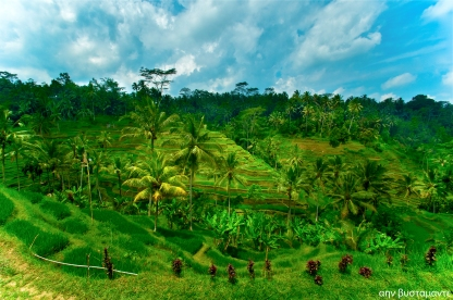 Rice Terraces in Ubud